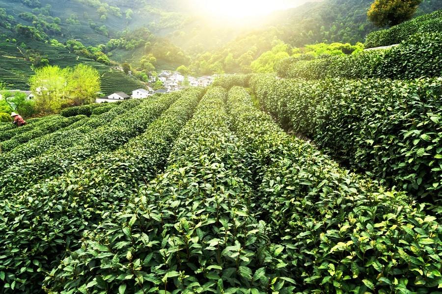 Grün,Blätter,Plantage