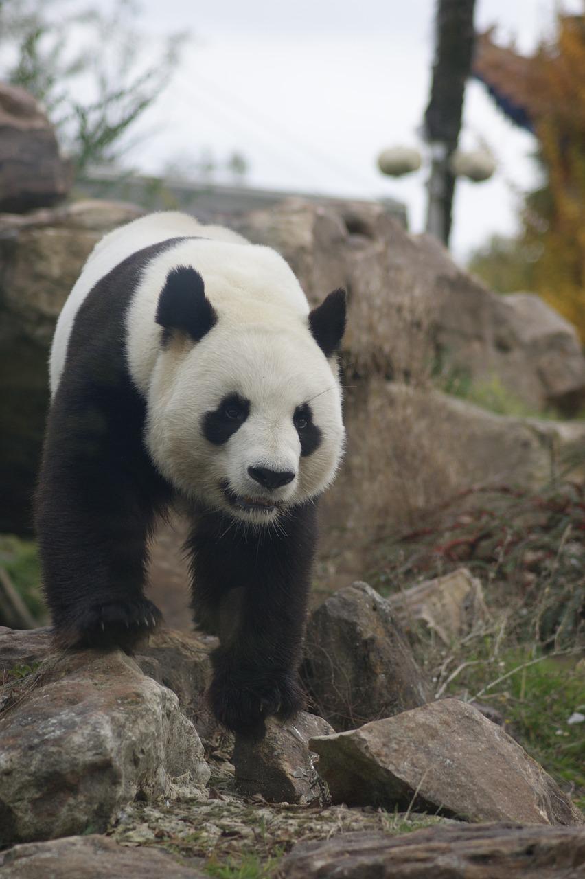 panda auf felsen
