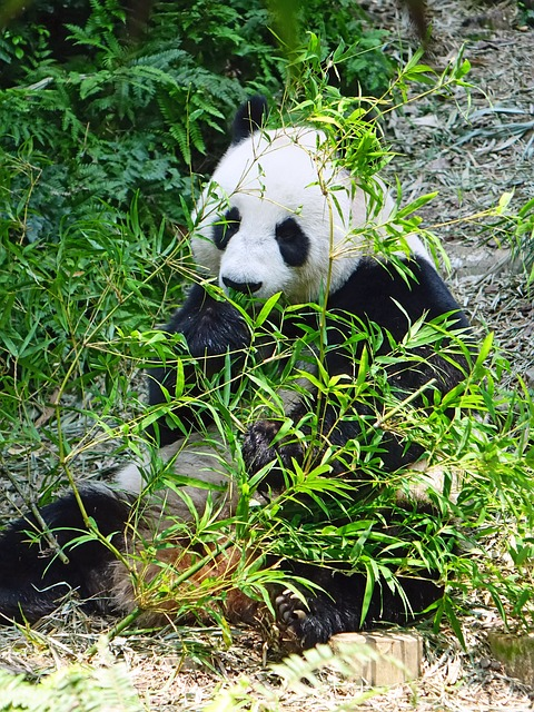 panda mit bambus