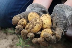LiCipedia – Kartoffeln I