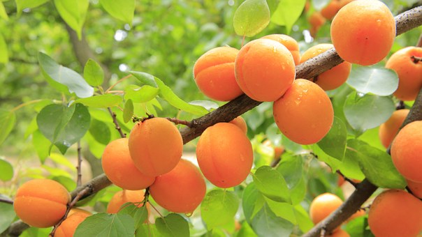 LiC Userinnen Rezept: Aprikosenkuchen