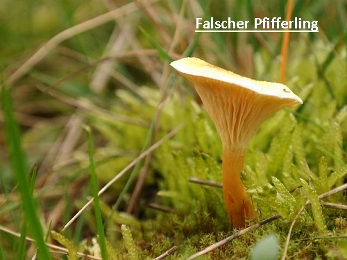 false-chanterelle